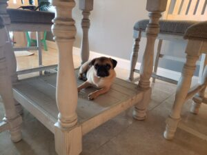 honey the pug under the table