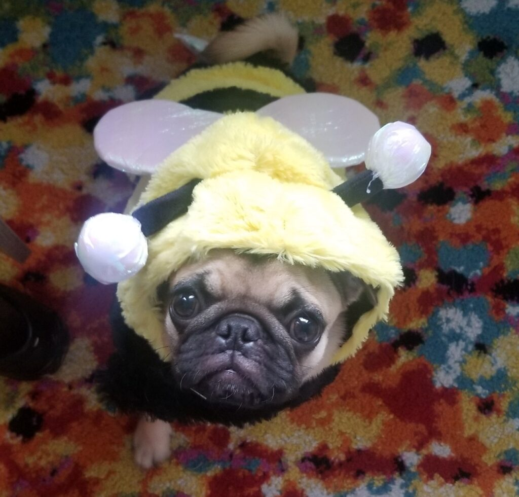 honey the pug as honey the bee costume